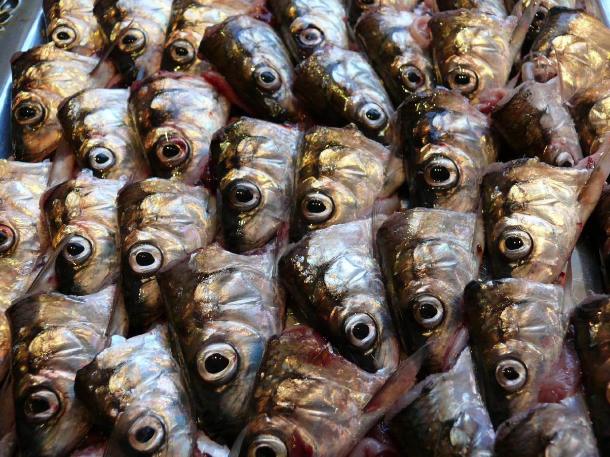 Brotfisch